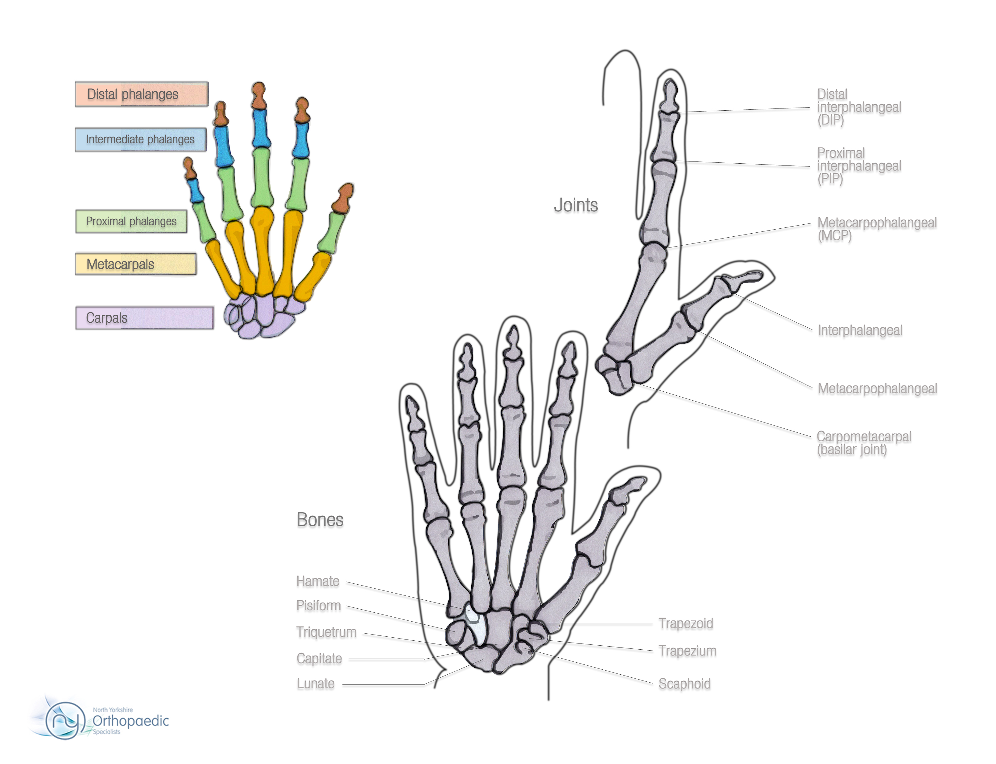 Hand And Wrist Anatomy Orthopaedic Ian Whitaker
